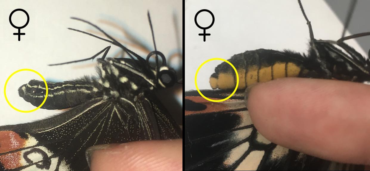 A female  Papilio polytes  and  Papilio memnon , both native to Asia.