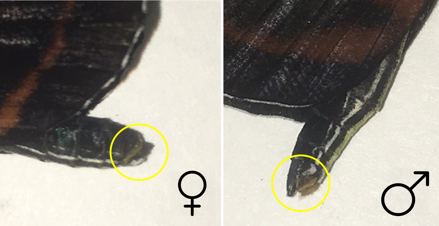 The female and male abdomen of  Heliconius cydno,  the difference between the female and male are highlighted in yellow. As you can see, male claspers in this species are smaller and difficult to identify.