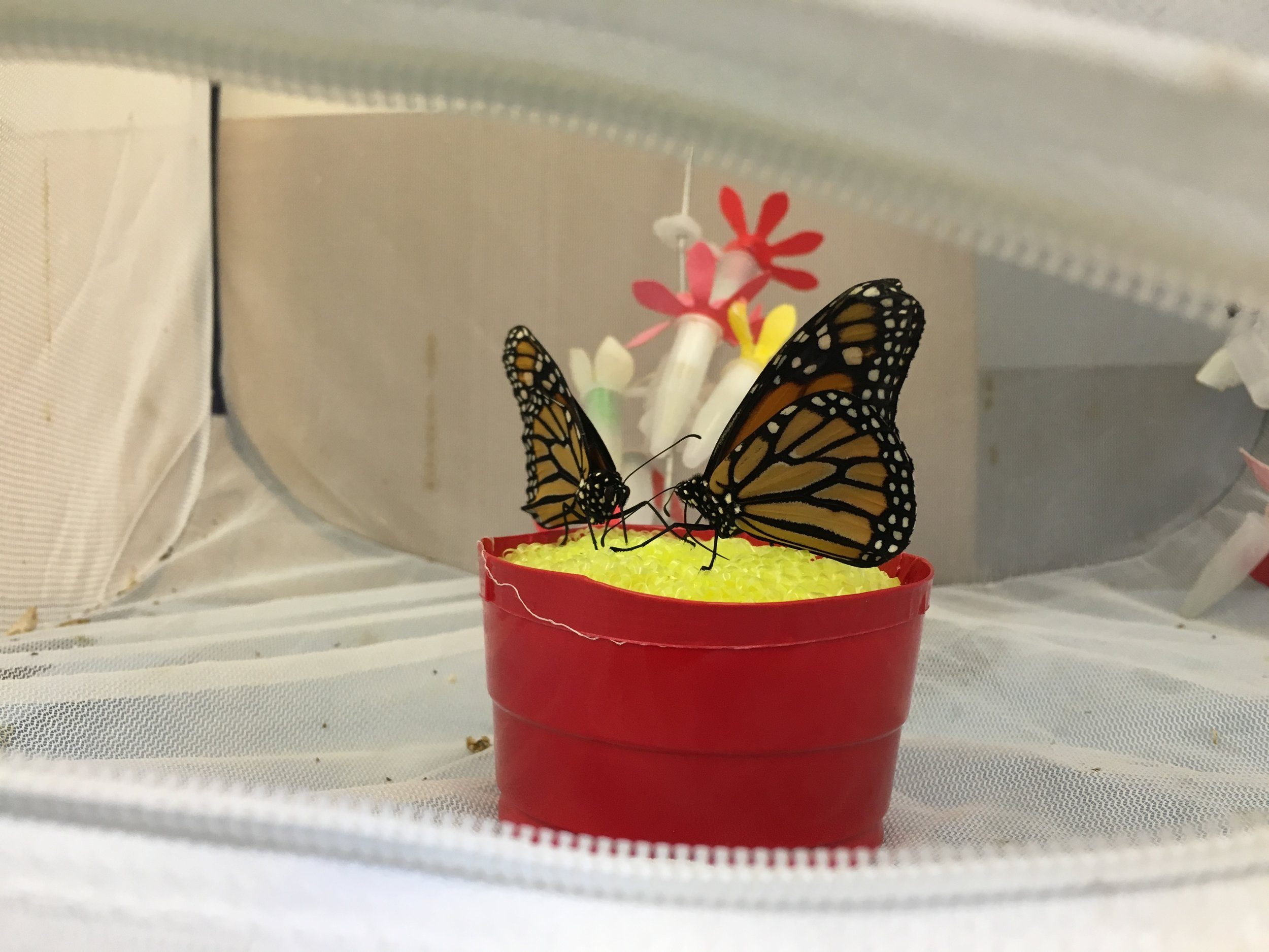 Butterflies feeding from a yellow sponge soaked in nectar inside a red plastic cup.