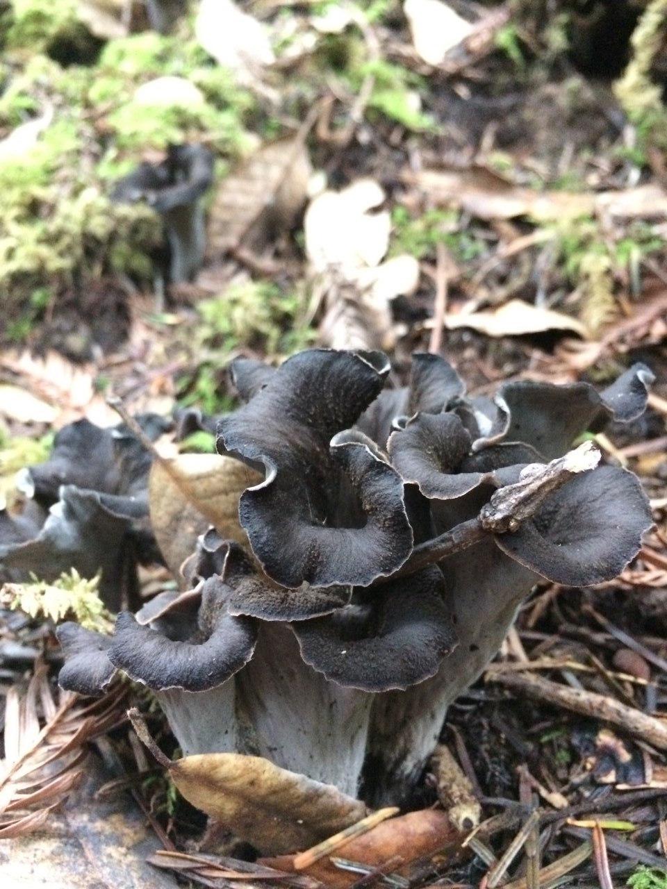 Craterellus cornocopiodes