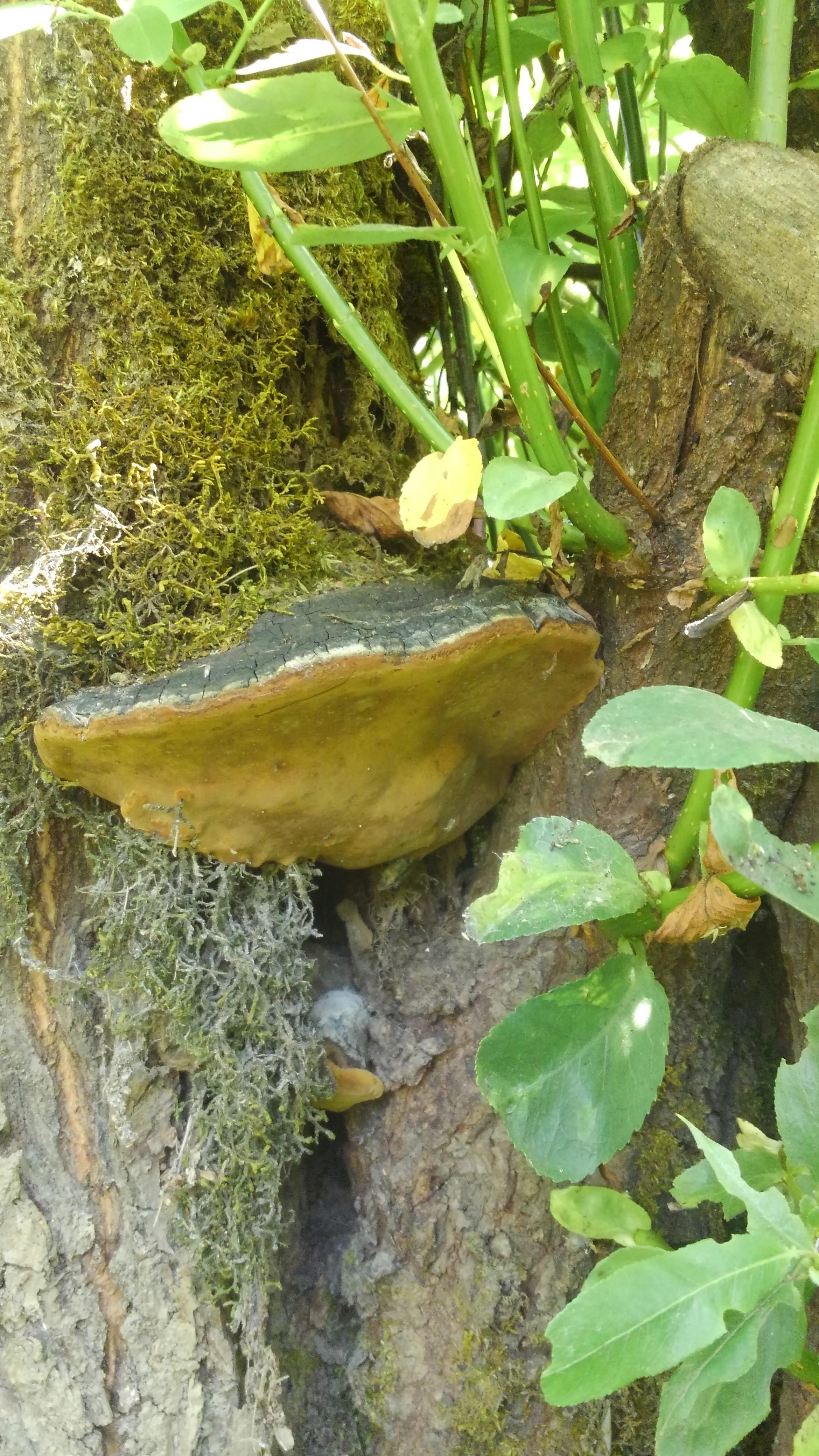 Phellinus igniarius.jpg