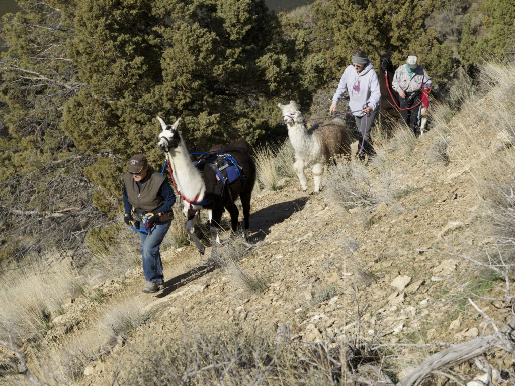 New Year's Day Llama hikers on trail at Smith Rock State Park