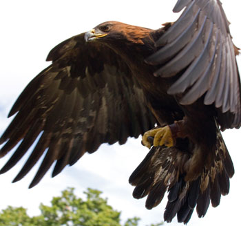 golden eagle leaving Smith Rock State Park