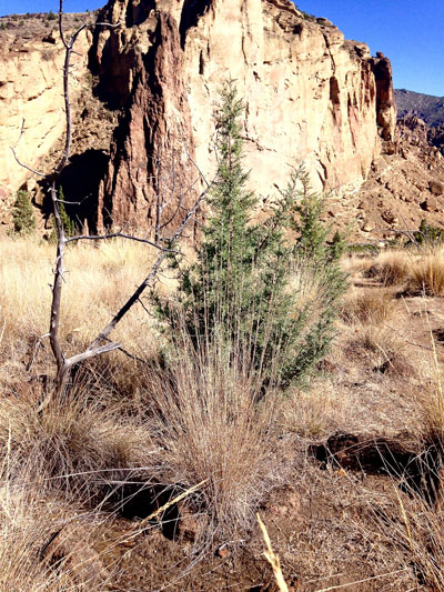 tree size relative to tall grasses since the fire