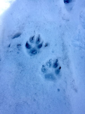 Coyote tracks on the Canyon Trail