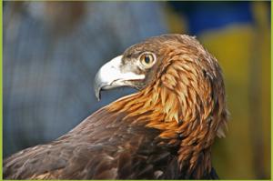 Aguila the golden eagle. Photo courtesy of the Sunriver Nature Center