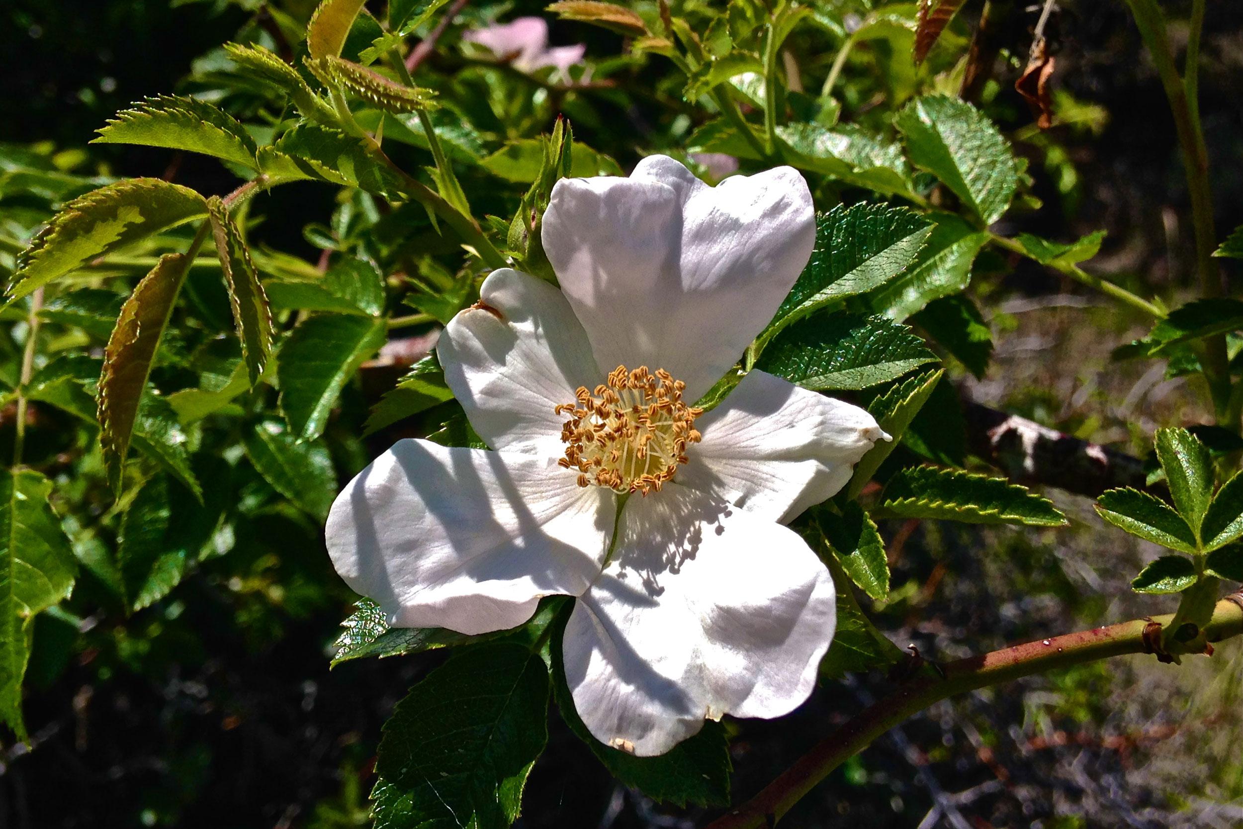 pale wild rose