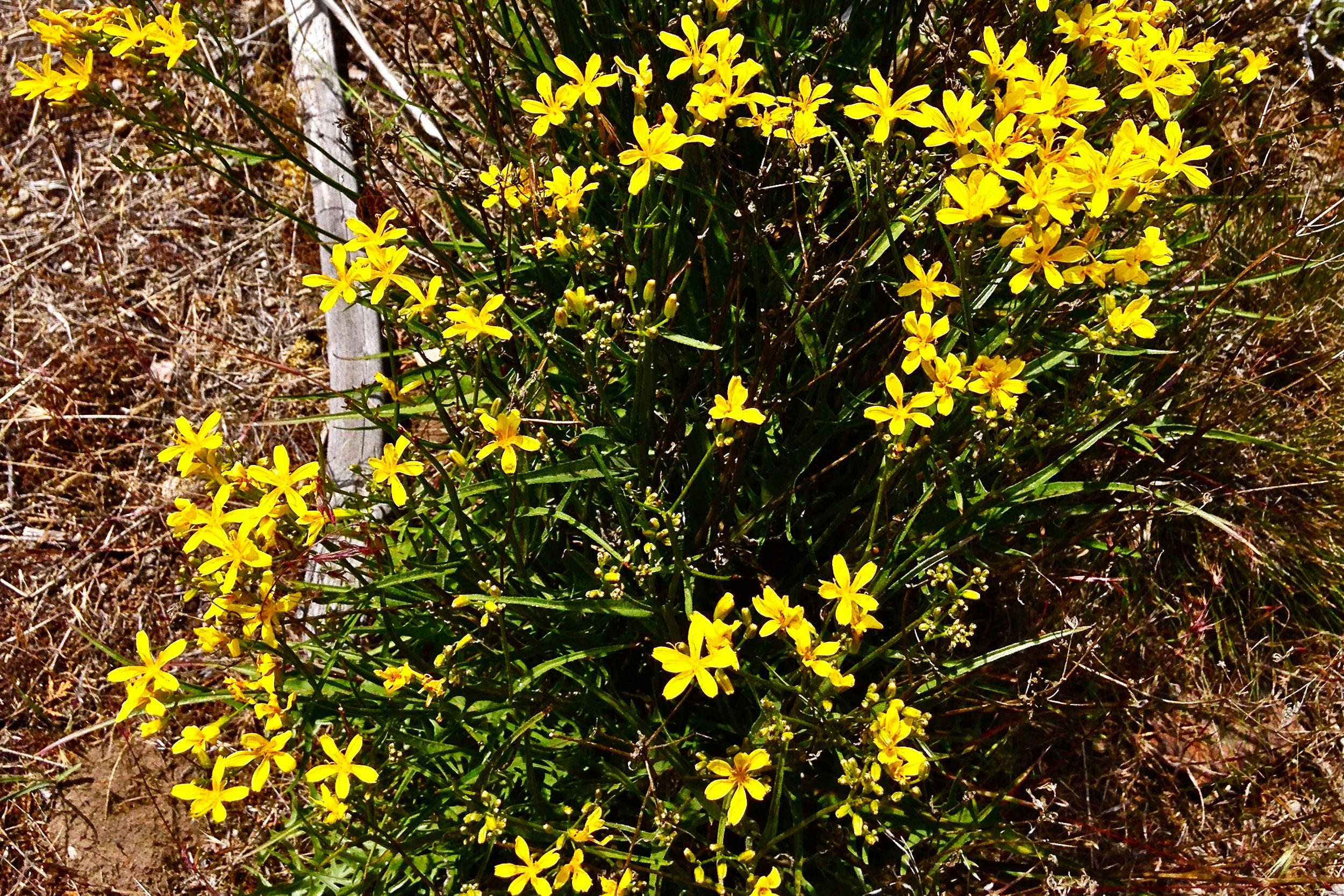 narrow-leaved goldenweed