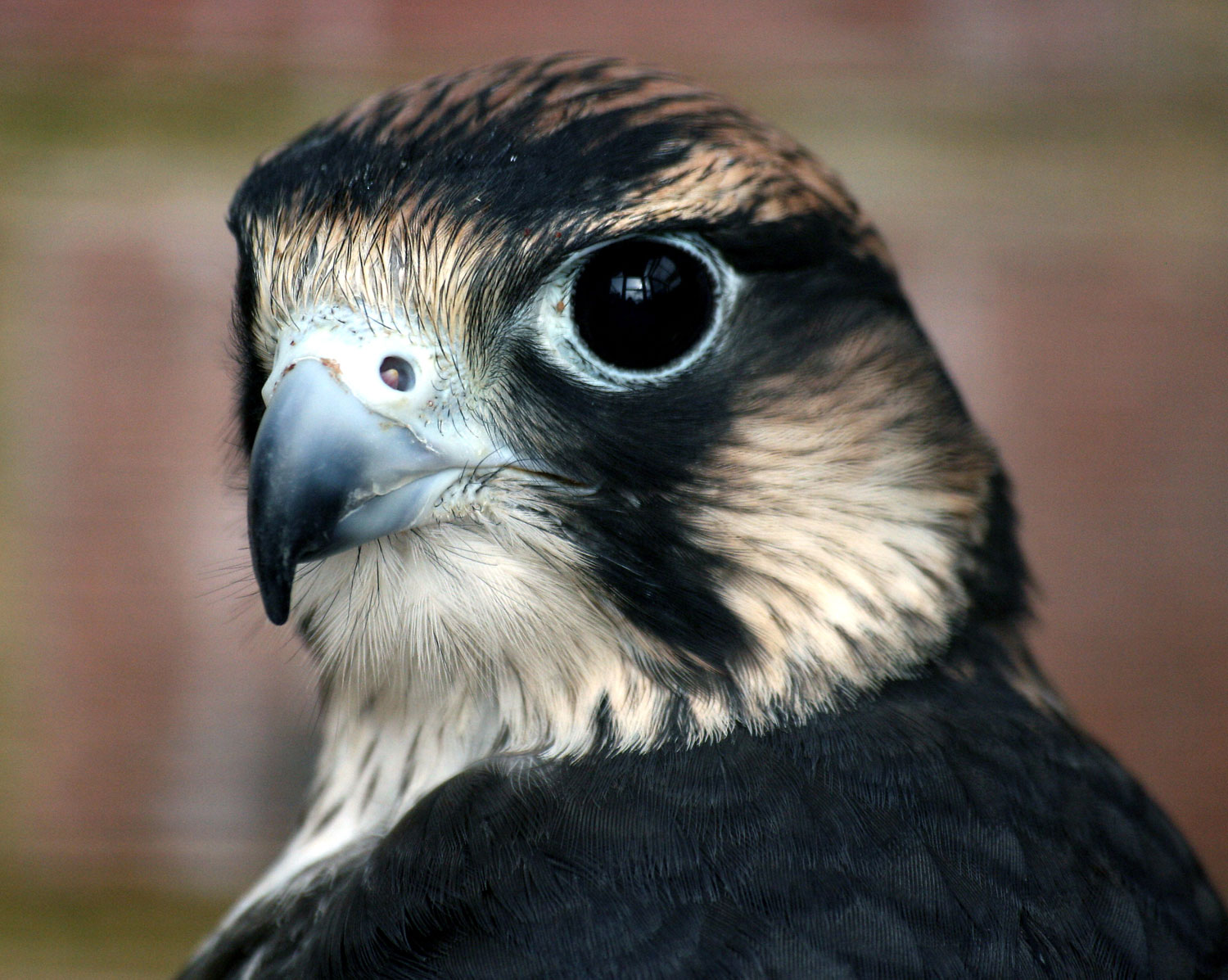peregrine falcons will defend their turf aggressively, so please respect the closure