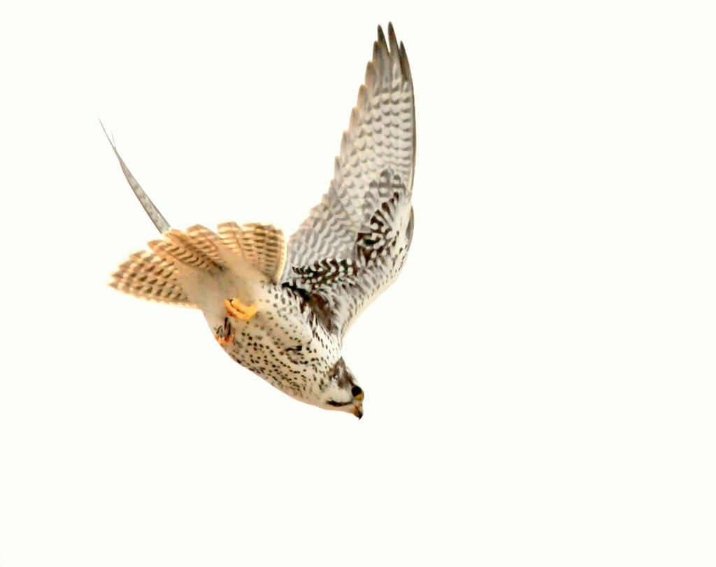 Prairie Falcon diving for a meal