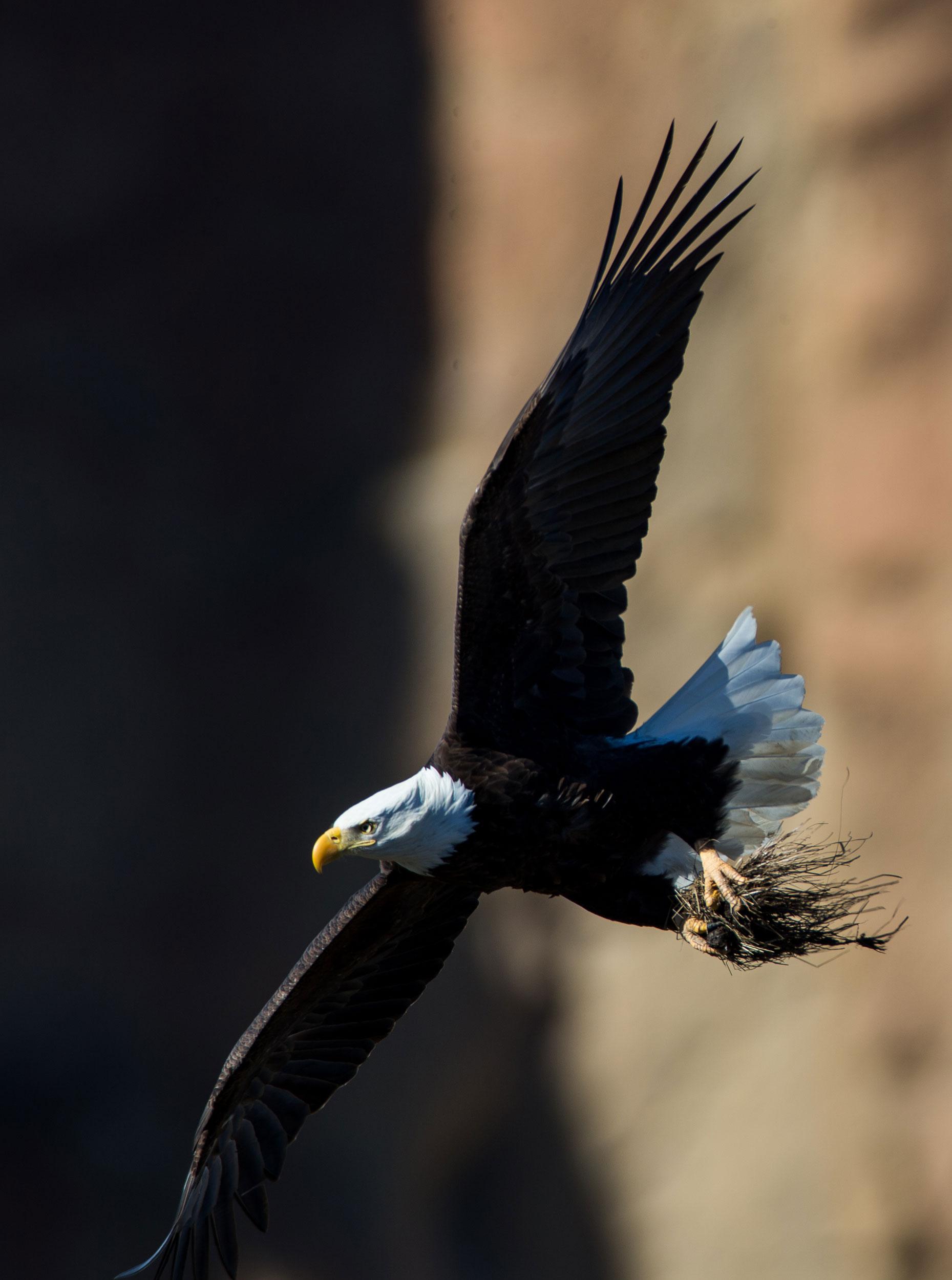 Bald eagle gathering nesting materials. Photo courtesy of Jack Wills.