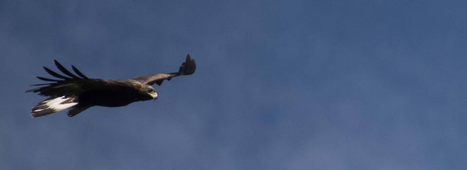 golden-eagle-header-960x350.jpg