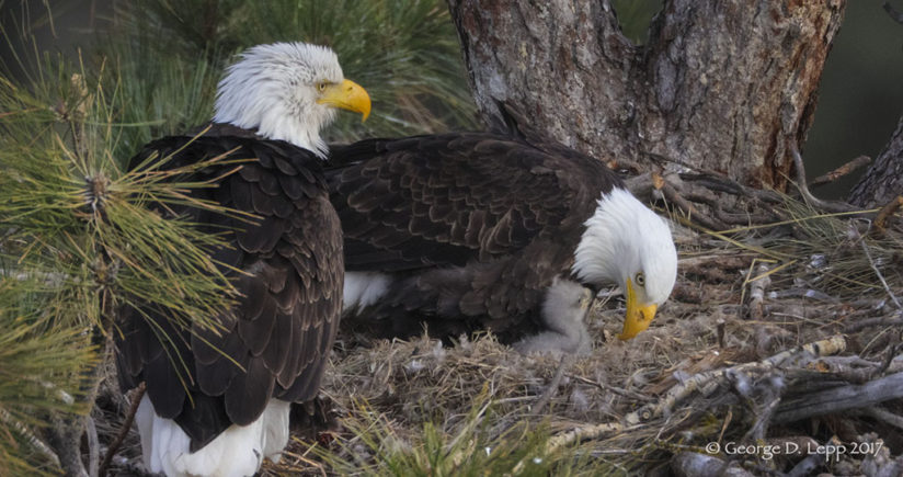 Proud parents and their 11 day old eaglet in 2017. Photo courtesy of  George Lepp.