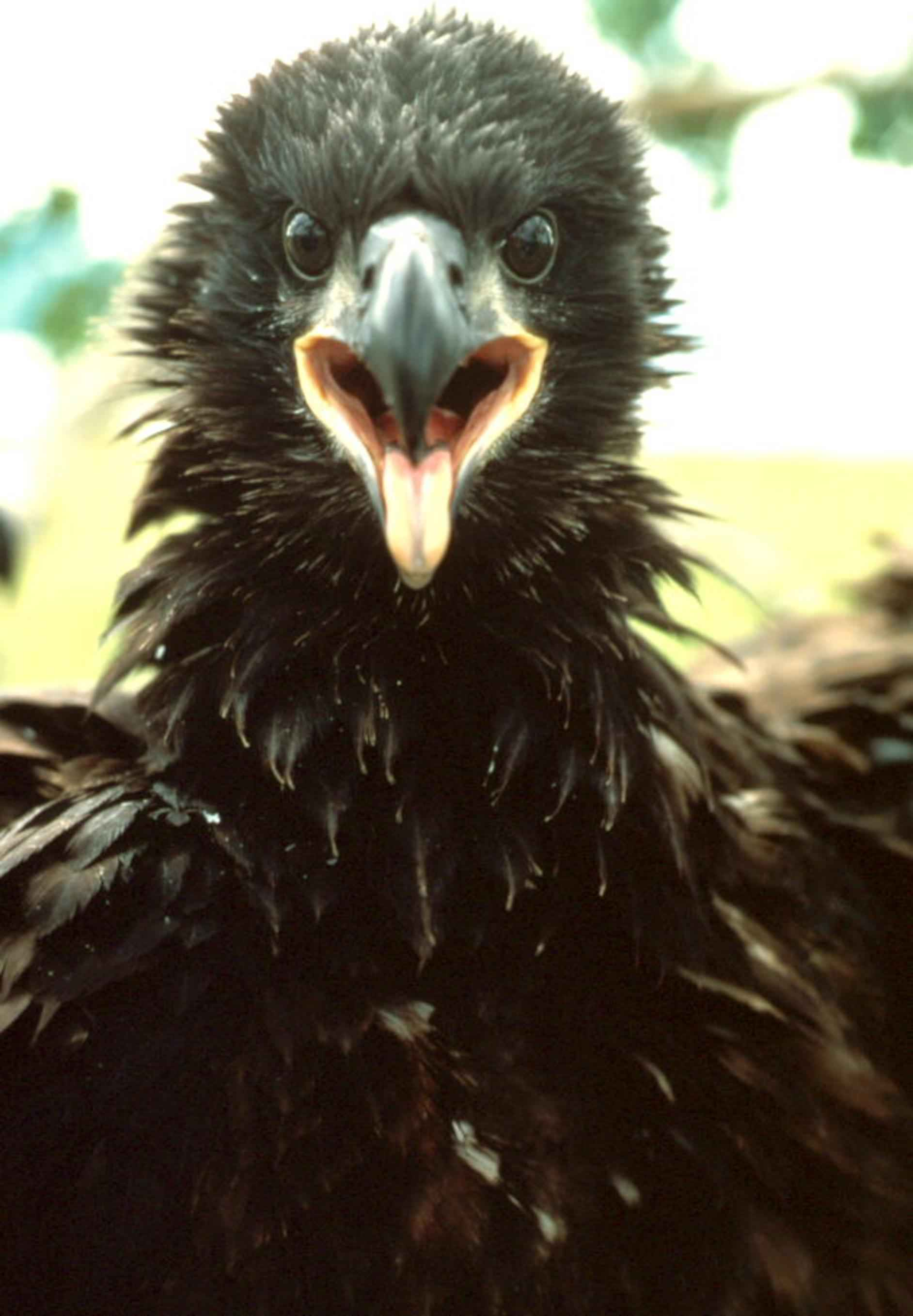 This Bald Eagle fledgling is pretty excited too.
