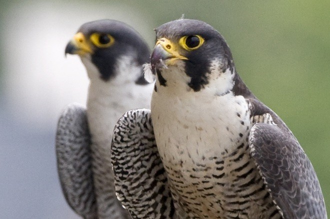Stock image of Peregrine Falcon pair