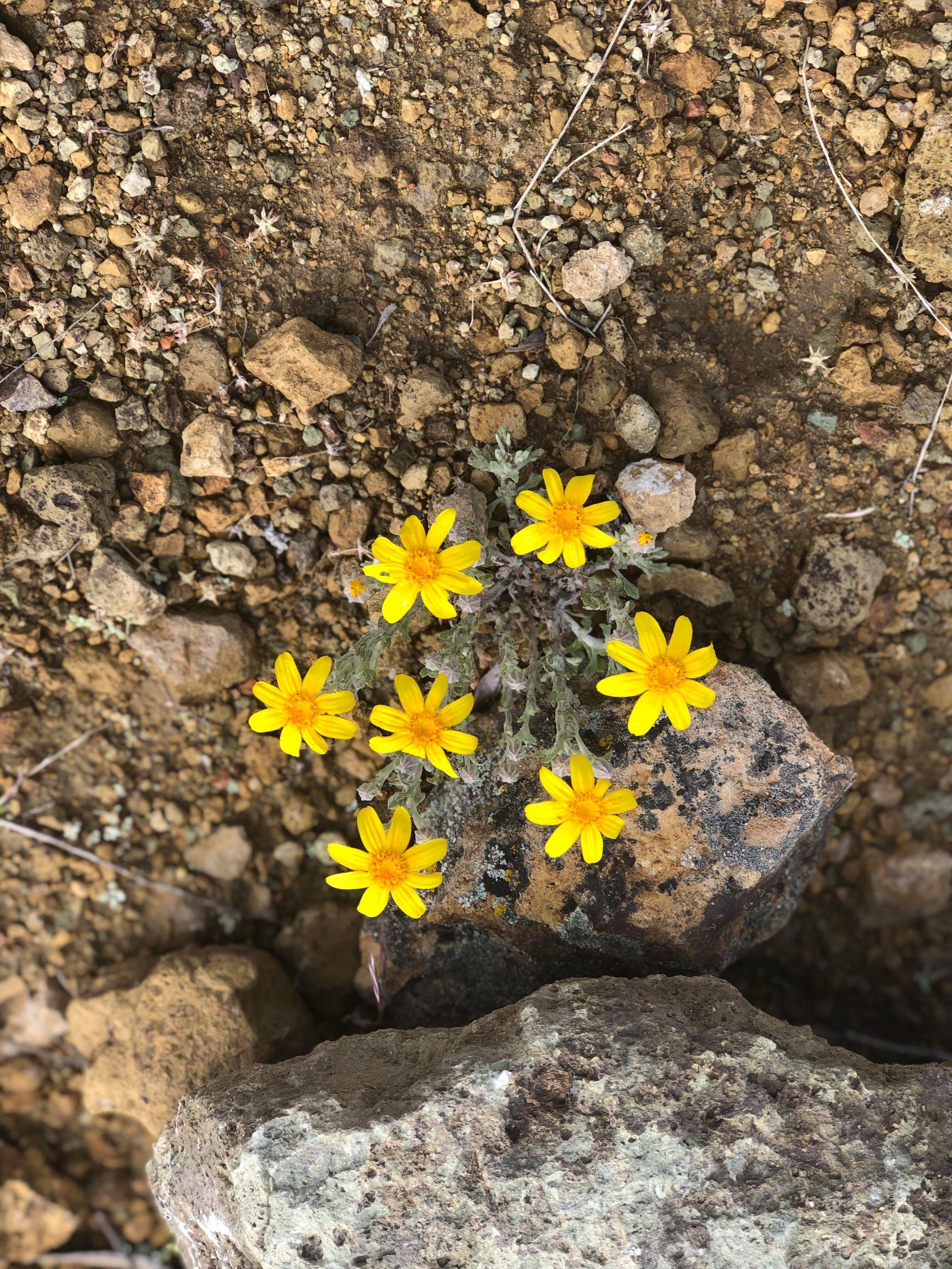 """Wooly Sunflower or """"Oregon Sunshine"""""""