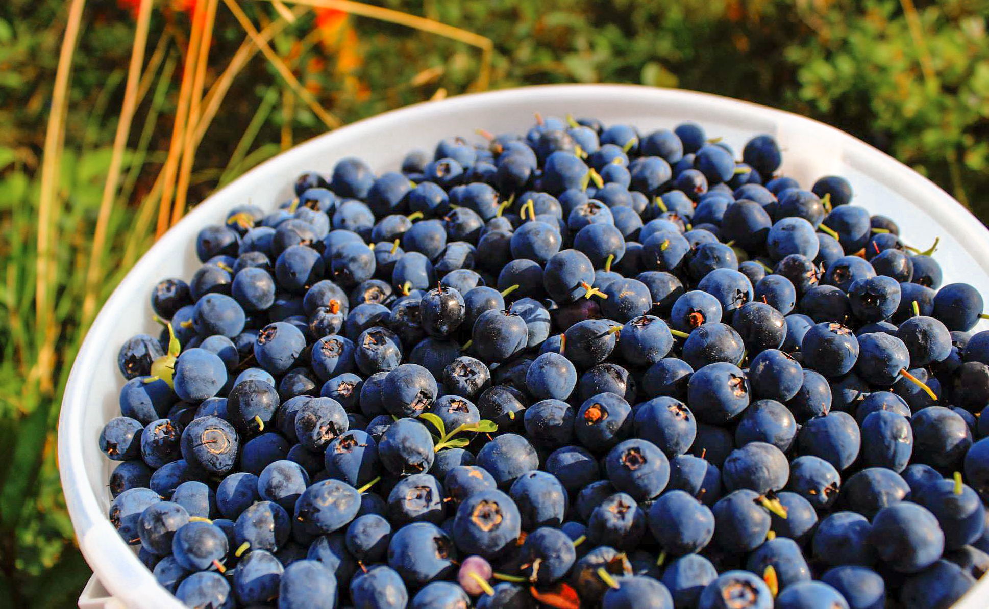 Homestead Guest Cabins bucket of blueberries