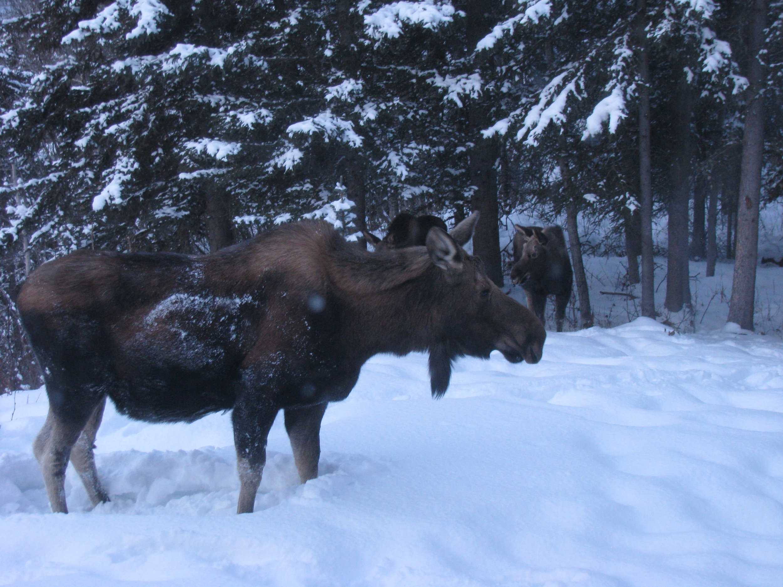 Cow moose and calves come to visit.