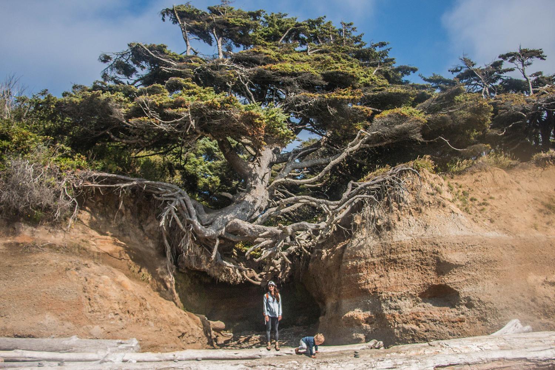 Kalaloch Root Tree Cave, Tree of Life, Olympic National Park. Washington