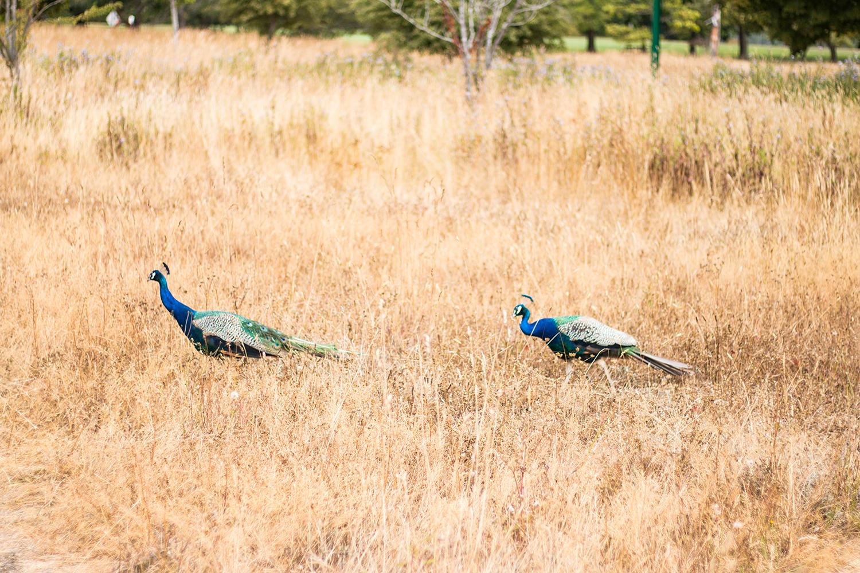 beacon hill park peacocks