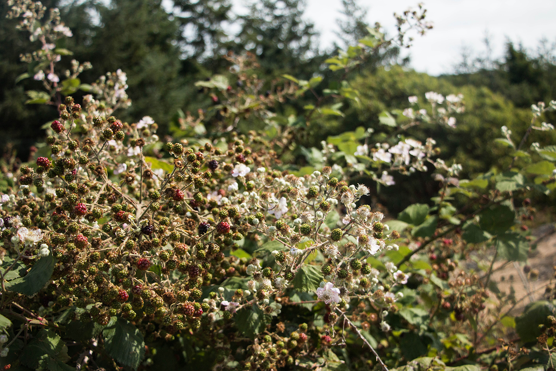 Lim Kilm State Park Blackberries