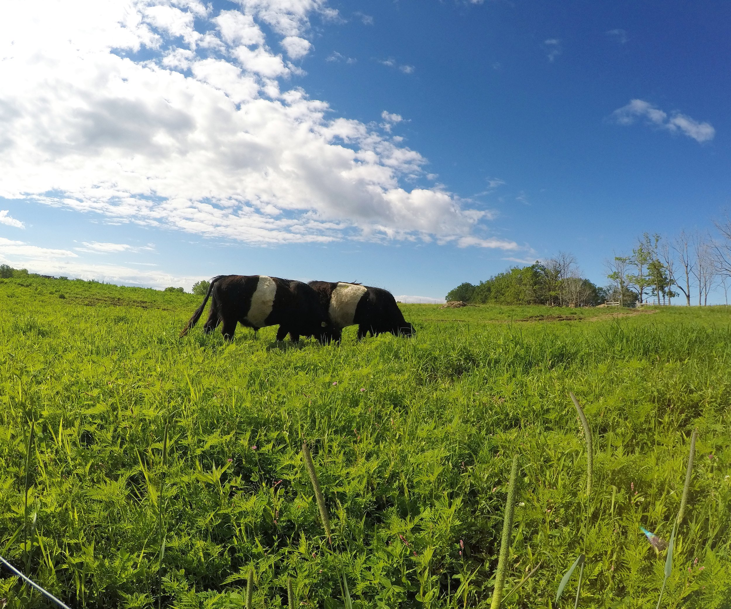 Our Cows Are Grass-Finished