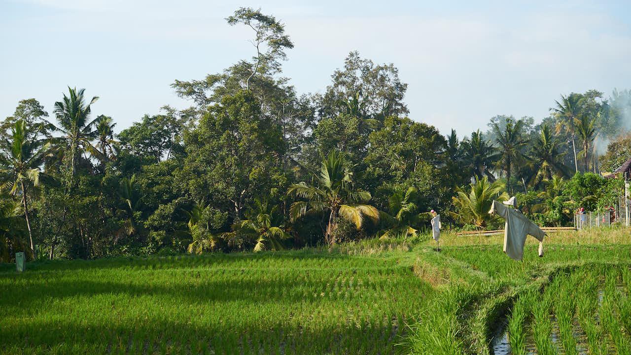Reisgarten in Ubud
