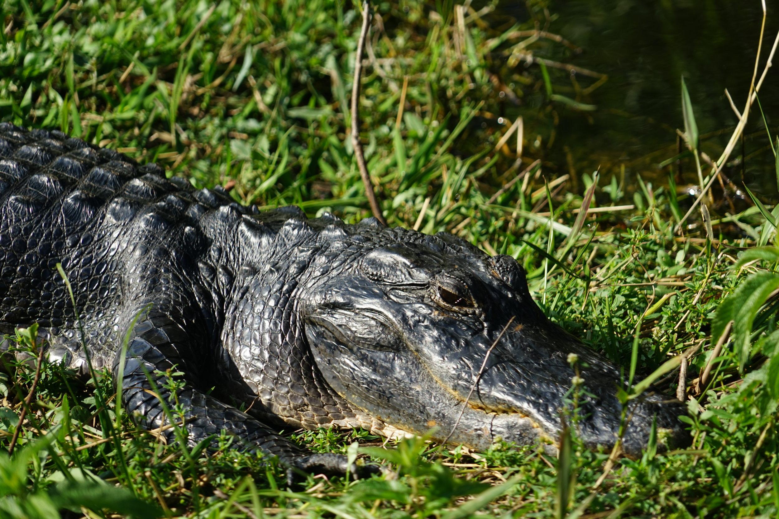 everglades national park florida partylikeits1995 alligator