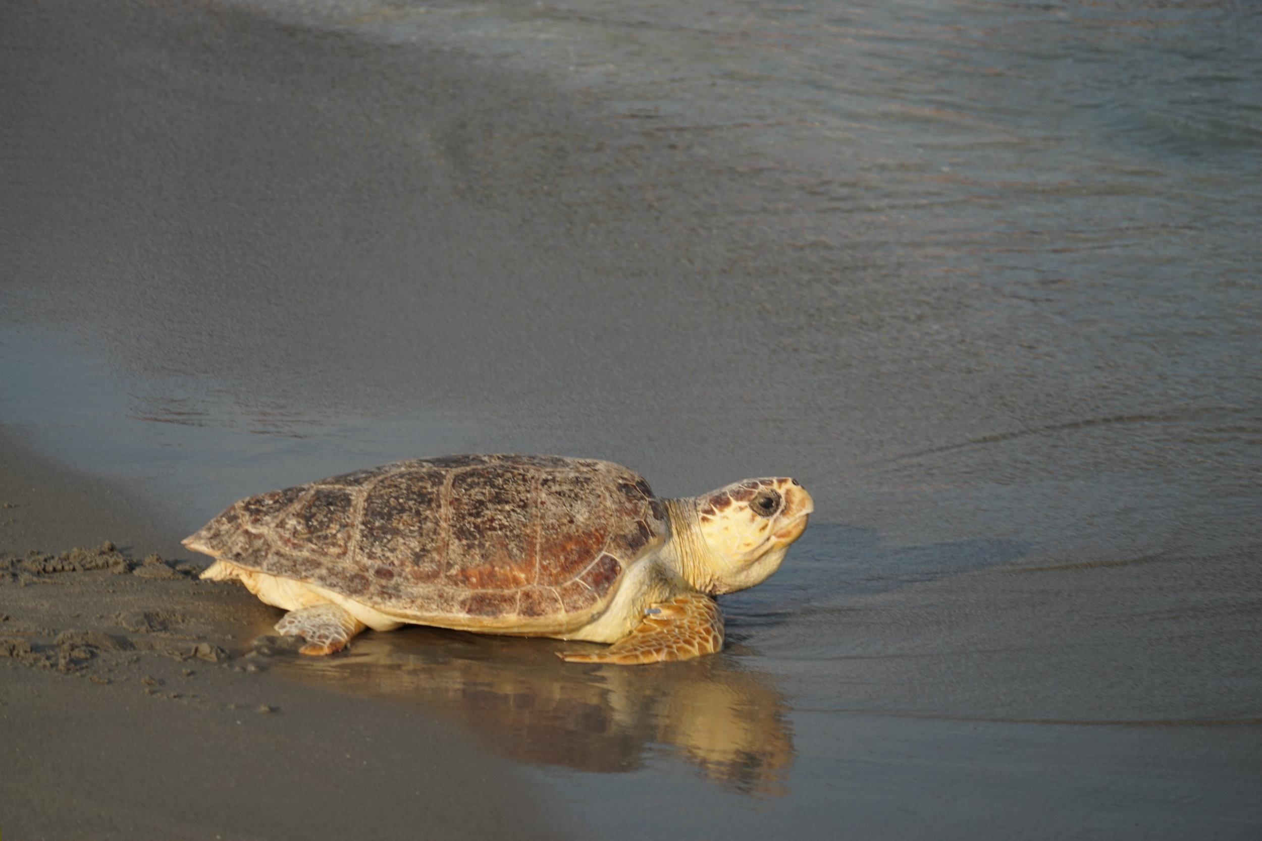 Delray Beach Sea Turtle