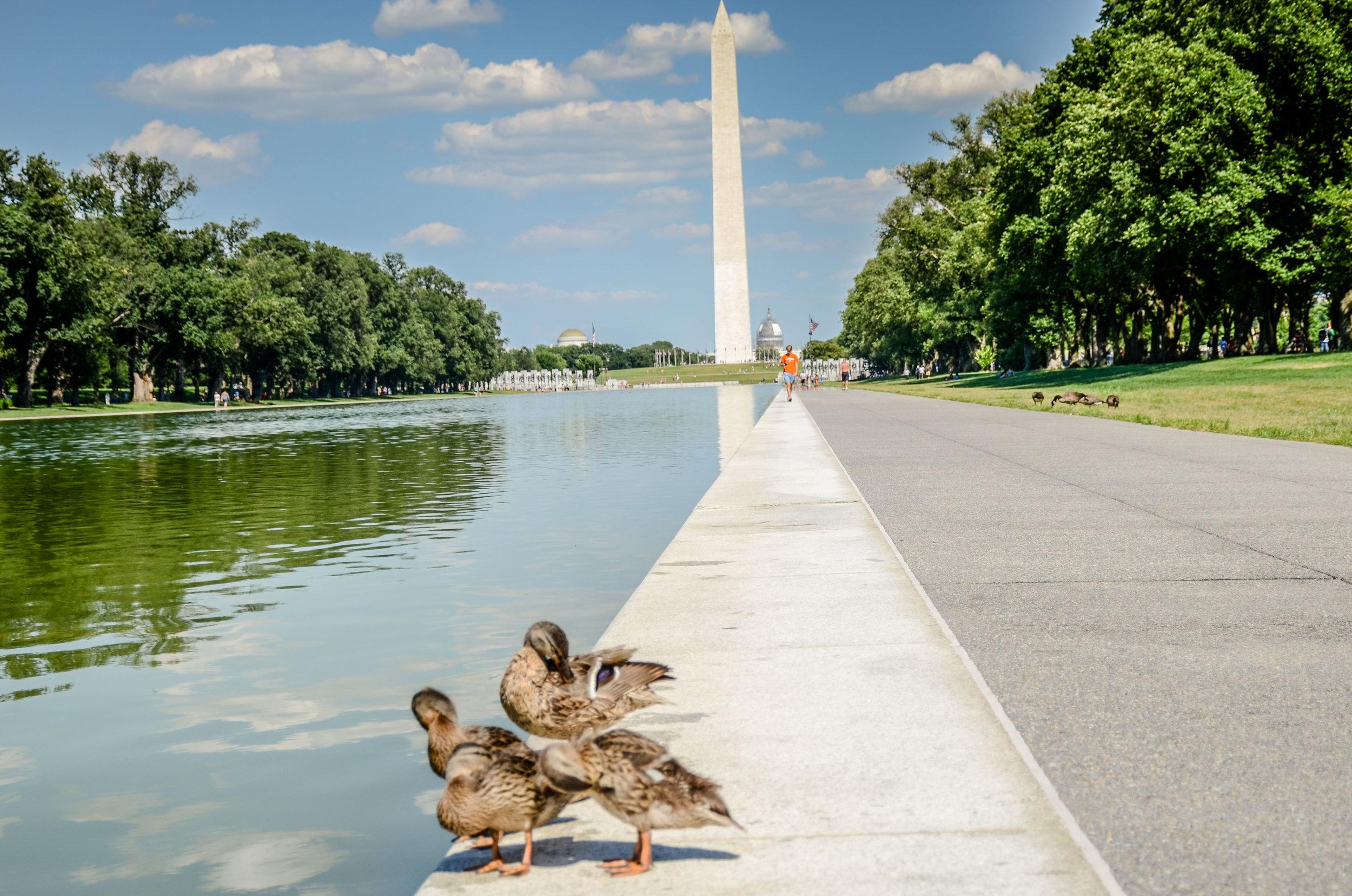 Washington Monument Ducklings (1 of 1).jpg
