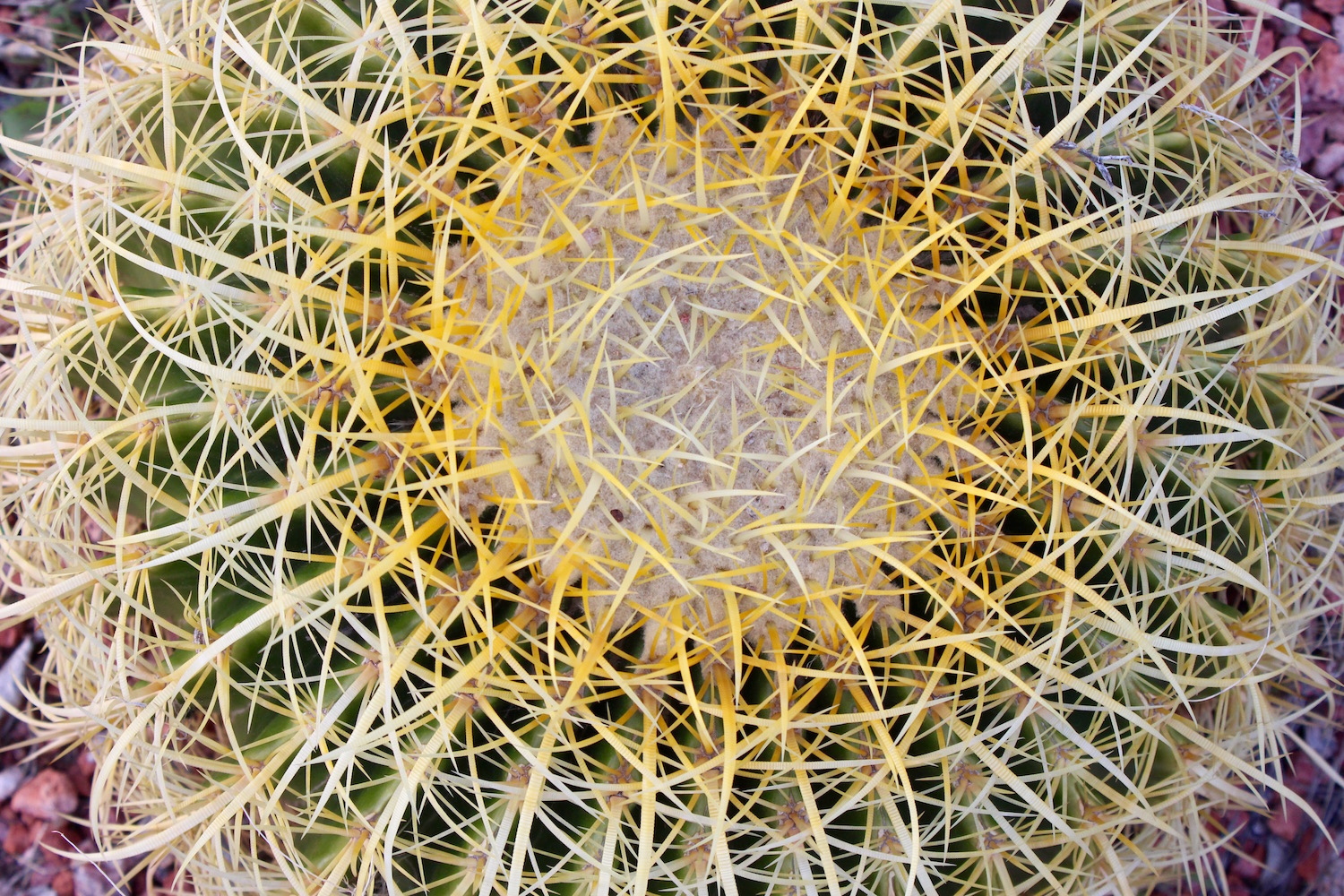 "Barrel Cactus - There are many species in this genus and they are ""well-protected"" from animals who might want to suck out the moisture held inside this succulent. Those needles are sharp! Cacti can be sources of water for a parched traveller but said traveller needs to know which ones: some excrete a gooey chemical in the moisture that will make the cactus drinker quite ill."