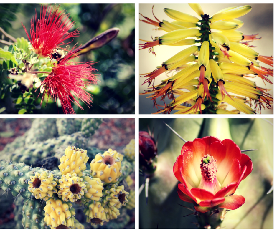 Many of the cacti had bloomed early but I managed to find a few blooms & fruits.