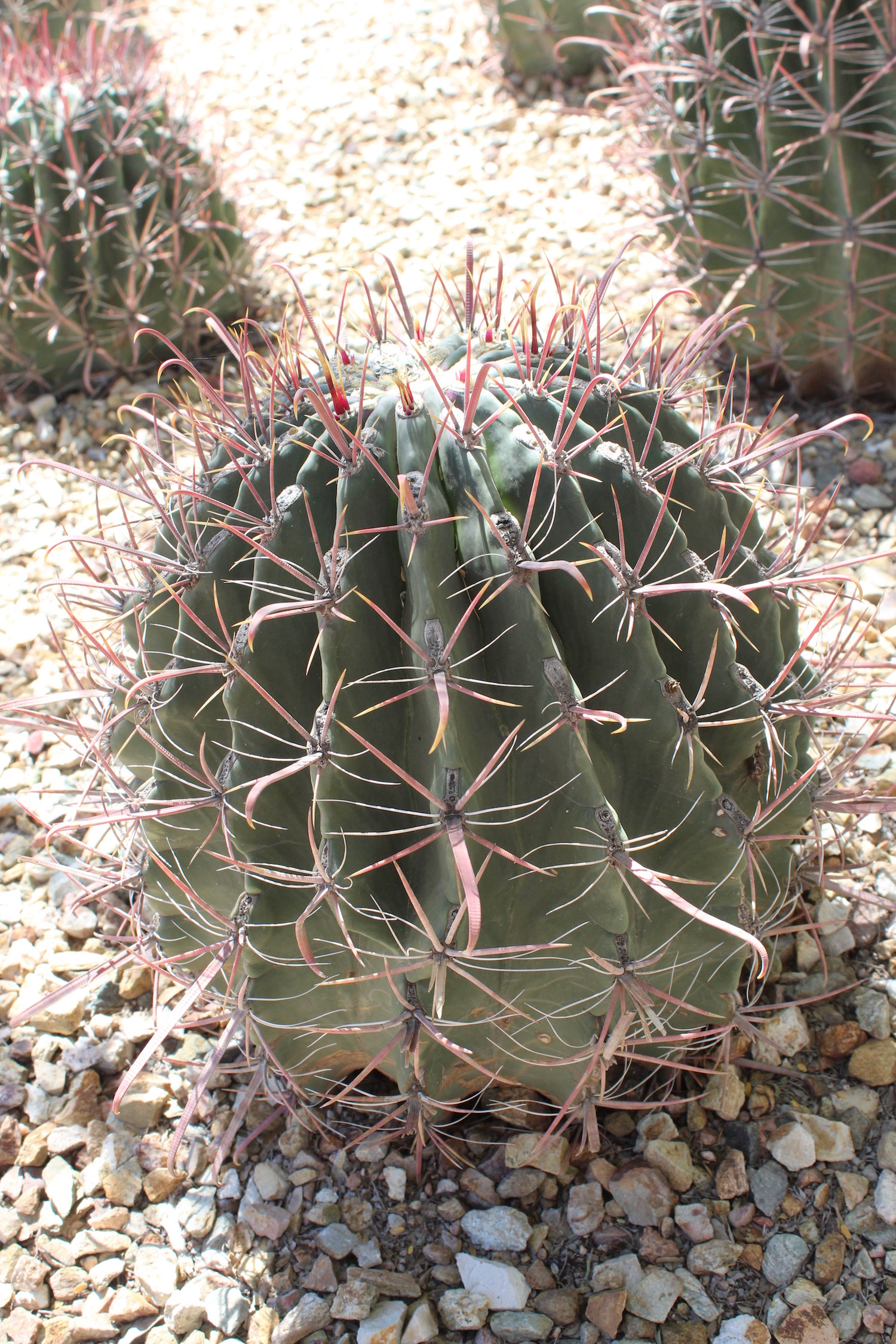 Fishhook Barrel Cactus - named for obvious reasons