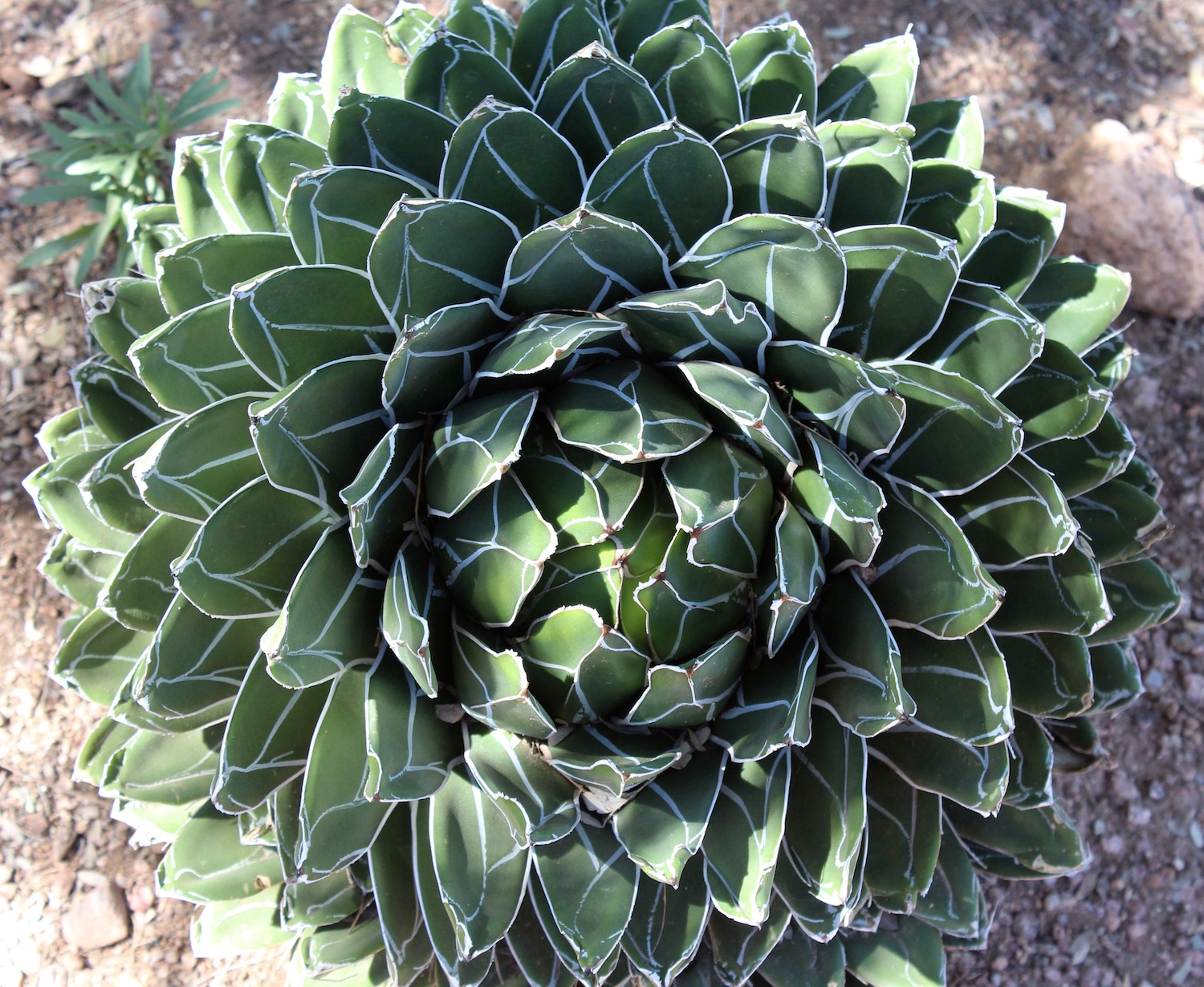 Agave - the genus of tequila!
