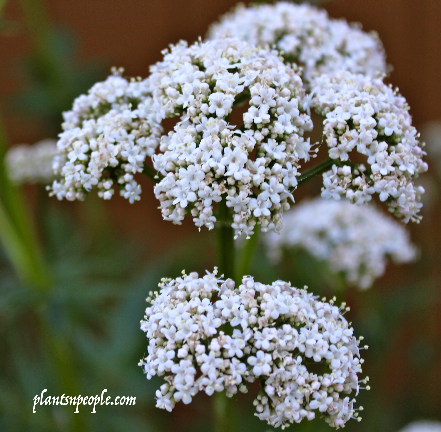 Valerian..enchanting or smelly!