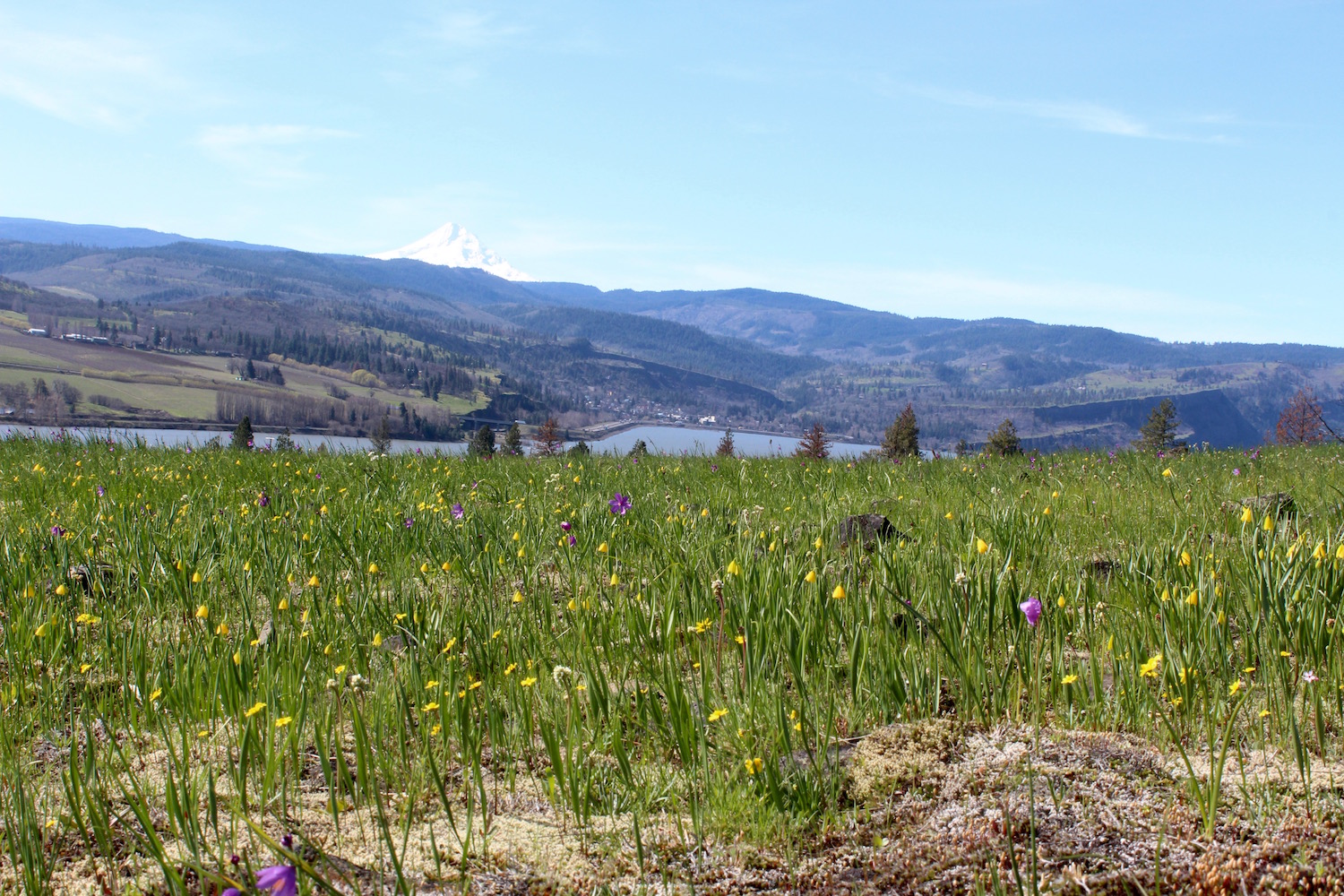 Catherine Creek on the Washington side of the Columbia River is one of the first spots for spring flowers in the Gorge. Yellow Bells & Grass Widows are the first flowers to appear. Mt. Hood in Oregon overlooks the Gorge.