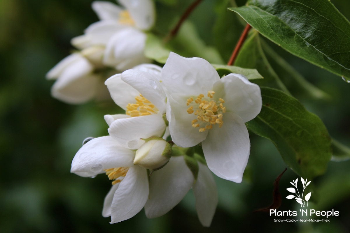 Mock-orange ( Phiadelphus lewisii ) Large, woody spreading shrub that grows in moist woods, conifer forests, canyons throughout western North America. Named after Meriwether Lewis.