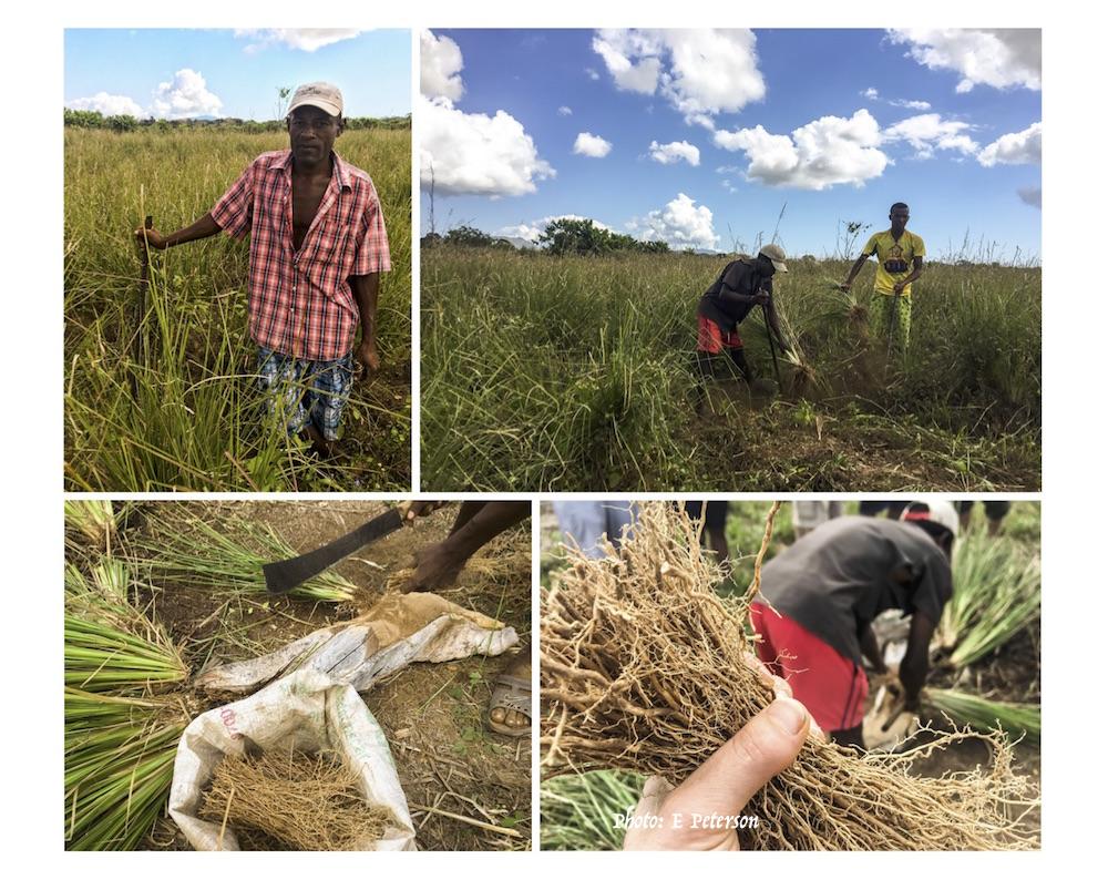 Harvesting vetiver roots for essential oil distillation