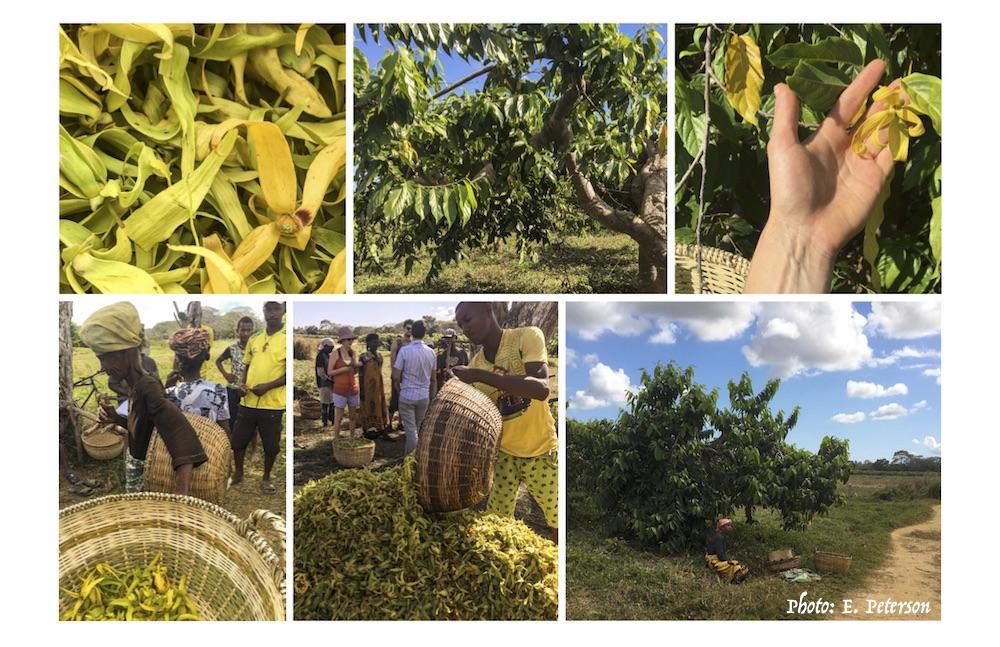 Harvesting ylang-ylang