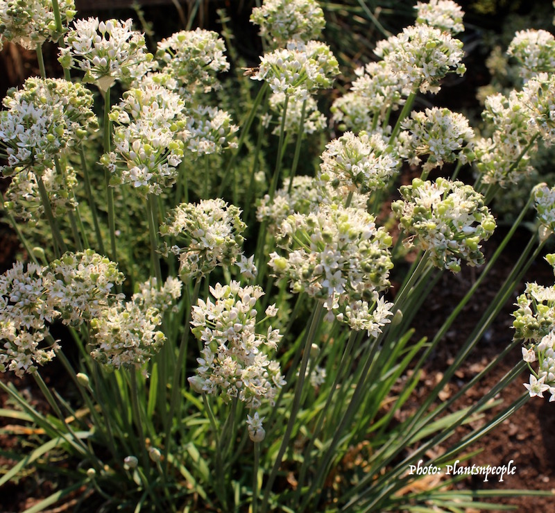 Garlic chives have flat green leaves, white flowers and a subtle aroma of garlic.