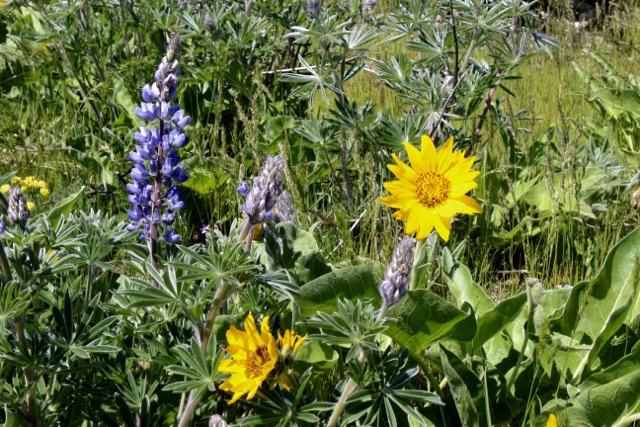 In my region, lupine and balsamroot are often found together en masse and blooming at the same time.
