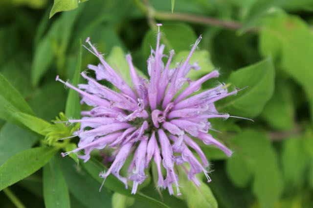 Monarda fistulosa  is my native bee balm and one of my favorite herbs.