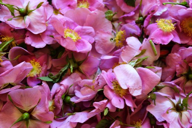 Wild rose petals bloom from mid-to-late spring and are a scent-filled wildcrafting experience. Separate the petals before placing in jar and ...escort any caterpillars back to the outdoors.