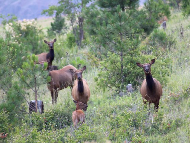 Cow Elk - Similar but not the same (photo: Sue Kusch)