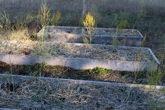 12 asparagus plants in their permanent beds that have been heavily amended with horse manure.