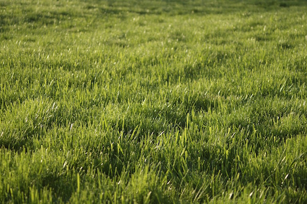 NASA estimates that the US has 63,000 square miles of lawn,  making it the largest single 'crop' in the US.
