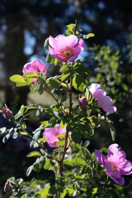 Wild Rose ( Rosa spp .) offers lovely flowers in the spring and rose hips in the fall. Pollinators love it.