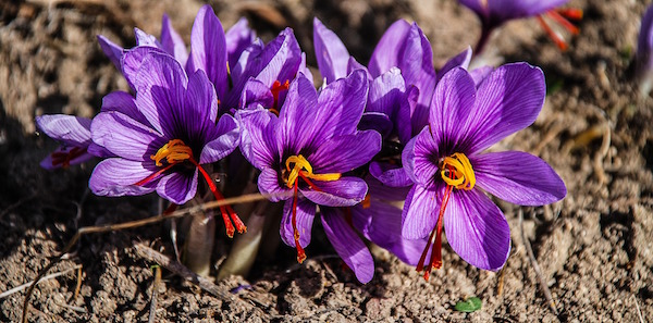 Crocus with stigmas (red extensions) ready to harvest, dry and sell as saffron. Might explain why they are so expensive!