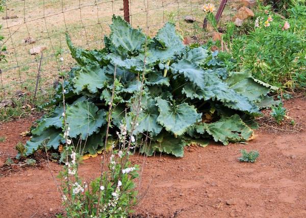 rhubarb-in-garden.jpg