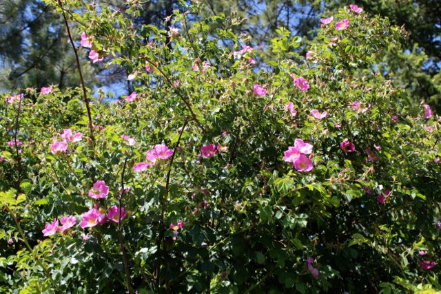 Native wild rose bush is great as a hedge plant. Simple flowers with a delightful scent appear in early summer (are both edible & medicinal) and if left unpicked, become red rose hips - the fruit of the rose bush (also edible, high in vitamin C).
